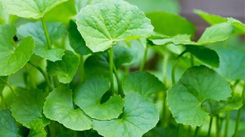 Image result for থানকুনি